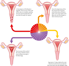 Shedding Uterine Lining During Period by Reproductive Systems And The Menstrual Cycle Worksheet Edplace