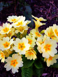 56 best Primulas images on Pinterest