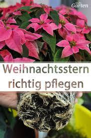 weihnachtssterne richtig pflegen pflanzen weihnachtsstern