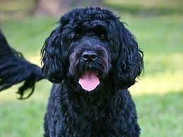 Best Non Shedding Hypoallergenic Dogs by Hypoallergenic Dog Breeds Best Hypoallergenic Dog List