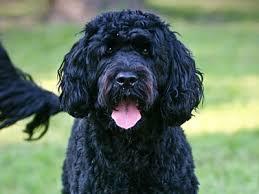 hypoallergenic dog breeds best hypoallergenic dog list