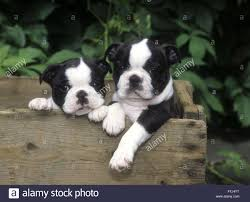 Boston Terrier Puppies Standing In Wooden Crate With Front Paws