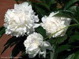 pivoine herbacee en pot paeonia lactiflora festiva maxima ou pivoine herbacée