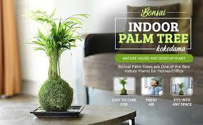zimmerbonsai bonsai palme kokedama deko wohnzimmer und