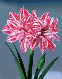 amaryllis bulbss buy amaryllis flower bulbs tubers garden