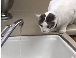 water for cats why water is so important for cats adoptapet