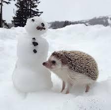 69 best pygmy hedgehog images on pinterest animals pygmy