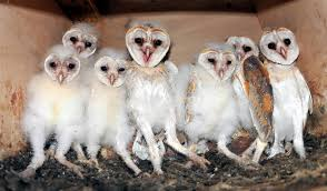 WildWatchcams: Owls - The Barn OwlCam Story | Washington ... Lets Talk About Birds Barn Owl Pittsburgh Postgazette Couple Owls Stock Photo 30126931 Shutterstock Watch The Secret To Why Barn Owls Dont Lose Their Hearing New Zealand Online Let You Know Birdnote Owl John James Audubons Of America Information Found Suffer No Loss As They Age Facts Pictures Diet Breeding Habitat Behaviour Baby Youtube