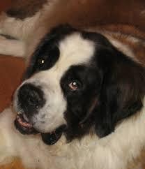 Do Short Haired Saint Bernards Shed by St Bernards St Bernard Dog Information U0026 Facts