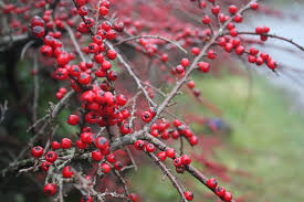 Winterberry Christmas Tree Farm by Christmas Traditions What Sass Says