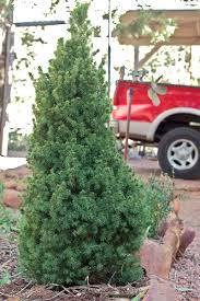 Canaan Fir Good Christmas Tree by Growing Your Own Christmas Tree Hobby Farms
