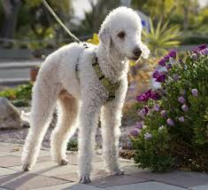 Non Shedding Dog Breeds Small by Sorry There U0027s No Such Thing As A Hypoallergenic Dog Breed Huffpost