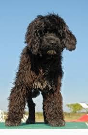 Portuguese Water Dog Shedding Problems by Portuguese Water Dog