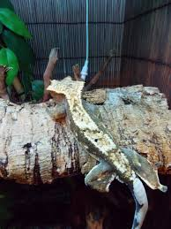 Crested Gecko Shedding Help by About Crested Gecko U0027s Nutmuffin U0027s Cresties