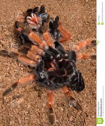 Do Tarantulas Shed Their Legs by Tarantula Under Her Shed Skin Stock Photo Image 10191358