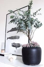mit tipps für eukalyptus drinnen pflanzen blühende