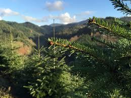 Nordmann Fir Christmas Tree by Christmas Tree Rentals Mean Firs U0027no Longer Have To Die U0027 Nbc News