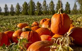 Pumpkin Picking Ct Best by Where To Find The Best Pumpkin Patches In San Diego Lajolla Com