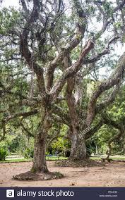100 Pau Brazil Brasil Caesalpinia Echinata Botanical Garden Rio De