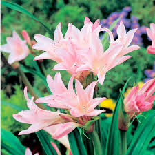 amarcrinum bulbs howardii view all bulbs flower bulbs
