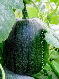 Fertilizer For Giant Pumpkins by Guide To Growing Pumpkins Hgtv