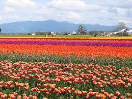 skagit valley tulips them flowers i