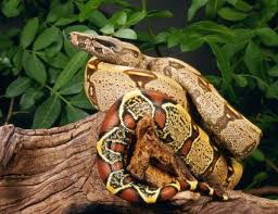 Ball Python Shedding Eating by How To Feed Frozen Mice To Pet Snakes Feeding Snakes