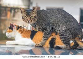 cats mating cats mating stock images royalty free images vectors