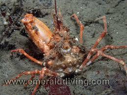 decorator crabs eat fish crab species index