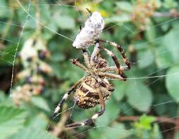 How Spiders Eat - The Infinite Spider Barn Spider Photography Nature Pinterest Update Spiders Still Dont Bite Arthropod Ecology Beneficial In The Landscape 49 Bana Nephila Tegenaria Domestica Wikipedia Grass Spiders At Spiderzrule Best Site World About Spiderlings Eat Mother Youtube Myths Burke Museum What Are Some Common Montana Animals Momme 7 Bug And Squashed National Geographic Society Blogs Neighbourhood Agriculture Food Molting