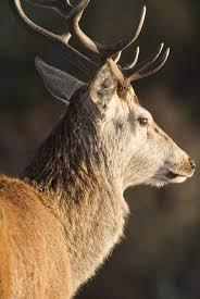 Deer Antler Shedding Cycle by Red Deer U2013 Stag Antlers
