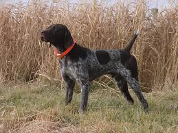 german shorthaired pointer shed german shorthaired pointer all big breeds