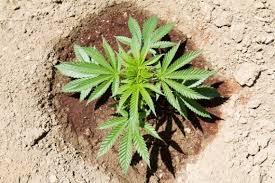 recolte cannabis exterieur date les meilleures variétés autofloraison pour la culture de cannabis