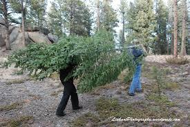 Christmas Tree Permits Colorado Buffalo Creek by Christmas Tree Cutting Linhart Photography