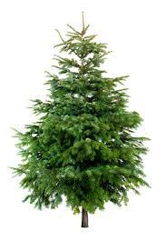 Nordmann Fir Christmas Trees Wholesale by Fir Christmas Tree 175 200cm