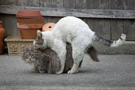cats mating cats mating pet problems solved