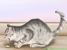 signs of worms in cats how to identify worms in a cat 14 steps with pictures wikihow