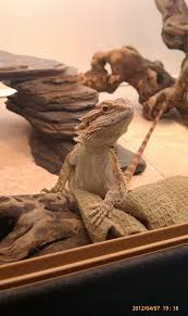 Bearded Dragon Shedding In Patches by Paarthurnax This Kid U0027s Got Spunk U2022 Bearded Dragon Org