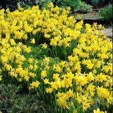 zyverden daffodils bulbs tete a tete set of 25 87032 the