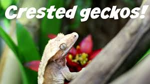 Baby Halloween Crested Gecko by How To Care For A Crested Gecko Youtube