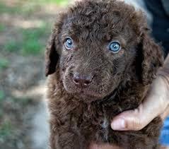 chesapeake bay retriever dog breed standards