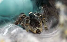 Do Tarantulas Molt Upside Down by Pacific Science Center Life Sciences Rosie The Riveting