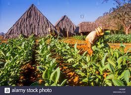 Man WorkerHarvest Tobacco Fields Variety Of Havana 92 In Vinales Valley Pinar Del Rio Province Cuba