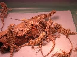 Bearded Dragon Heat Lamp Timer by Ha Ha Reptiles Bearded Dragons C B Babies