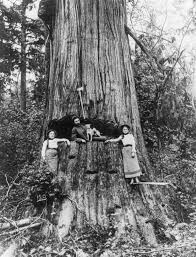 Seattle Christmas Tree Disposal by The Old Lumberjacks Who Felled Giant Trees With Axes