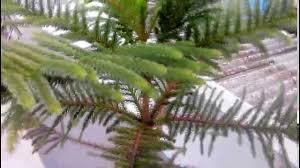 Christmas Tree Seedlings by Indoor Christmas Tree Easy To Grow Youtube