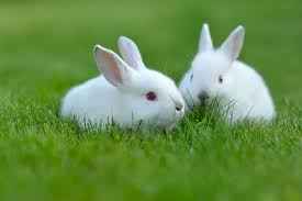 Most Beautiful White Rabbit HD Wallpapers