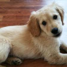 Small Non Shedding Dogs For Adoption by Small Non Shedding Dogs For In Alberta Breed Dogs Picture