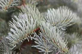 Silvertip Christmas Tree Orange County by U Cut Fresh Christmas Trees Little Bear Tree Farm