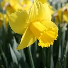 large flowering daffodils king alfred 2kg bulbs or buy in bulk